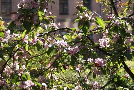 Яблоня в цвету--