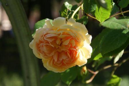 Роза -