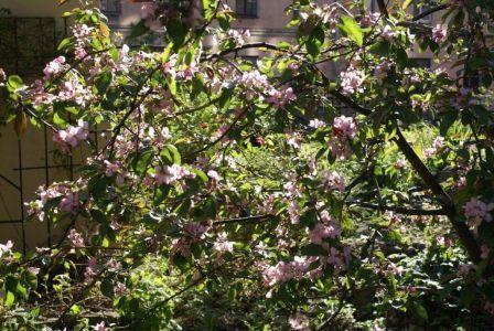 Яблоня в цвету-