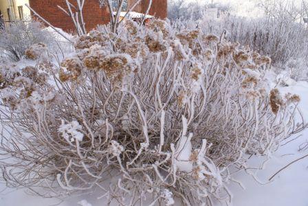Куст хризантемы-min