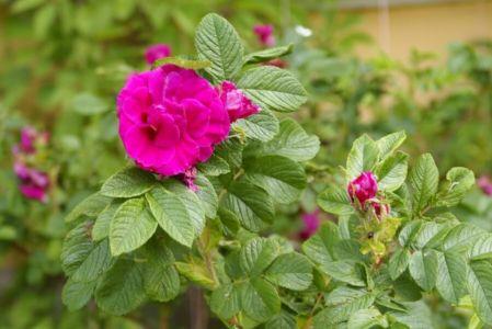 Роза или шиповник...