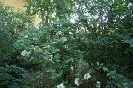 Белая роза садовая.