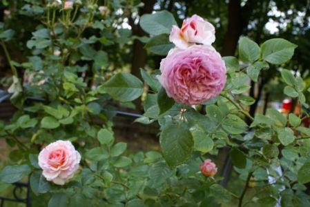 Роза серьезная