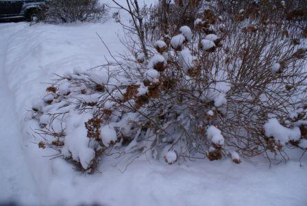 Снежный куст