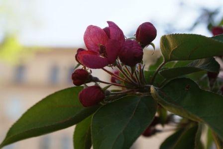 Яблонька цветет