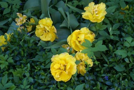 Тюльпаны немного подсыхают