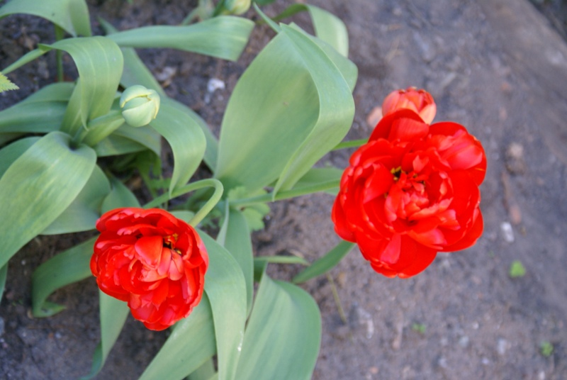 К 9 мая в садике музея кукол распустились тюльпаны! Всех с праздником!